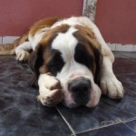Sleeping St.Bernard dog