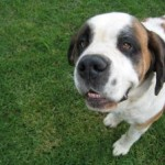 St.Bernard dog needs special care