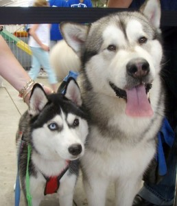 Difference Between Siberian Husky And Malamute