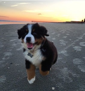 Running with bernese mountain dog