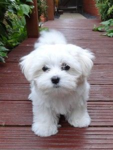 Small Maltese puppy wants to play