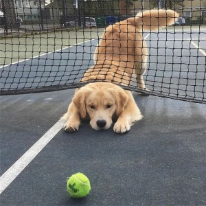 Golden wants to play tennis