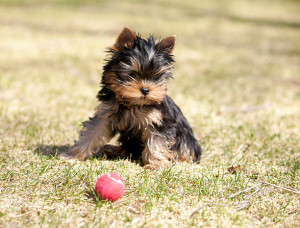 Playing Yorkie with a tennis ball